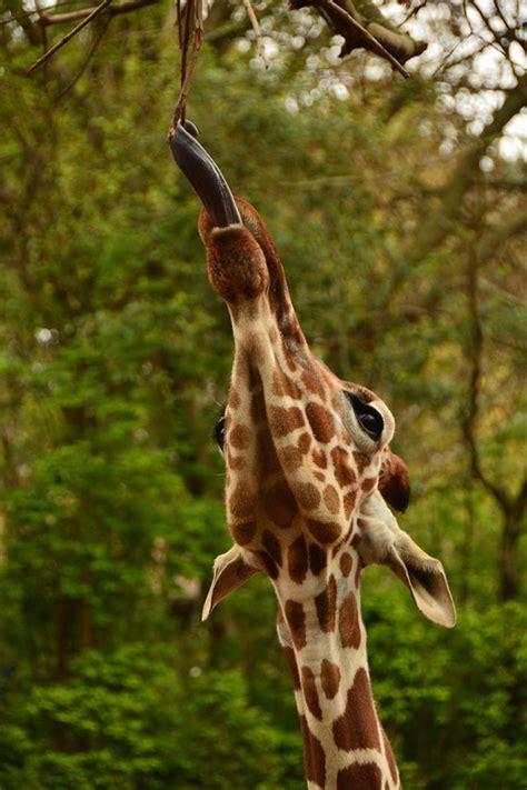 what color is a giraffe s tongue best 25 giraffe tongue ideas on giraffes