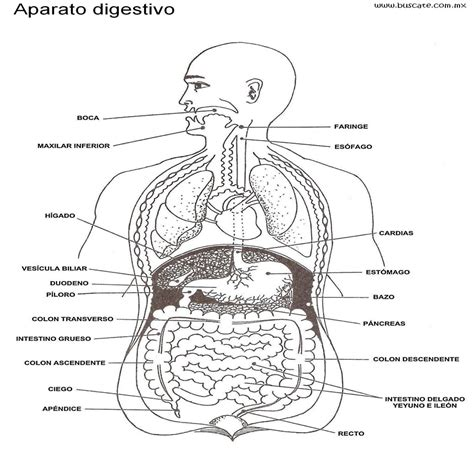 aparato digestivo esquema del aparato digestivo con nombres de sus partes