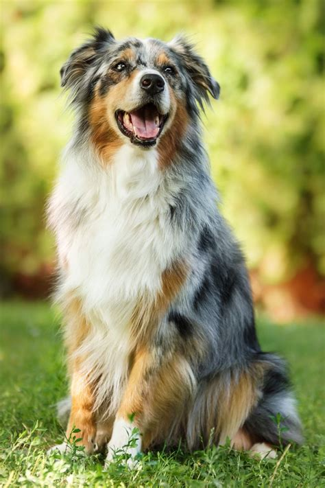 australian shepherd die besten 17 ideen zu australian shepherd mix auf niedliche hunde hunde