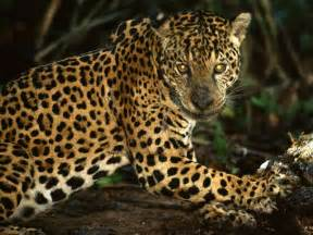 Do Jaguars Eat Wildlife Of The Rainforest Licensed For Non Commercial