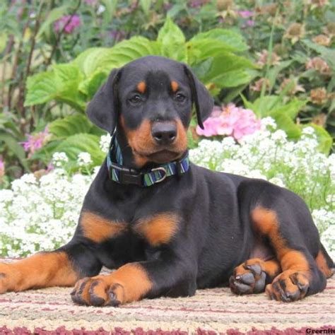 Doberman Pinscher Protection Dogs Breeds Picture