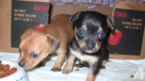 chorkies puppies yorkie chihuahua chorkies puppies for sale in guthrie carolina classified