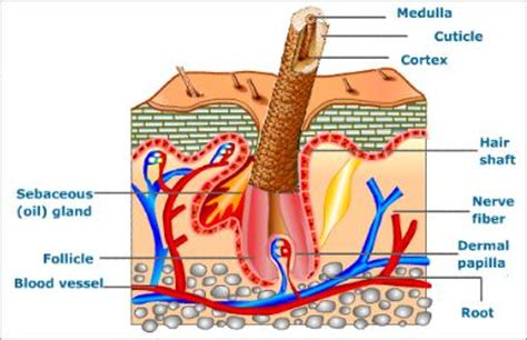 Vertical Section Of Human Skin excretion and osmoregulation in accessory excretory