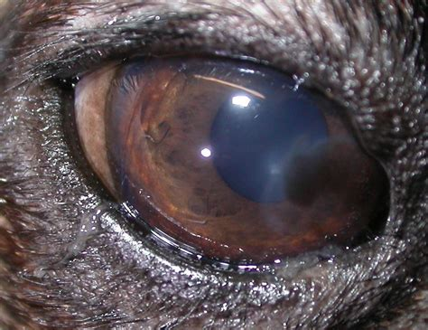 entropion in pugs a pug pigment problem veterinary ophthalmology