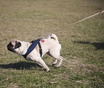 how to walk on leash top tips for acing controlled leash walking
