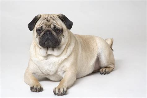 traits of pugs pug characteristics breeders guide
