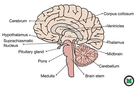 sagittal section of brain labeled sagittal view of the human brain brain sagittal