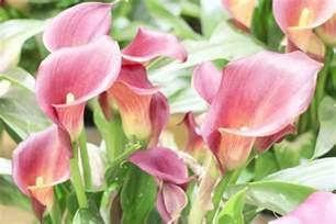 calla lily plant zantedeschia flower how to grow care