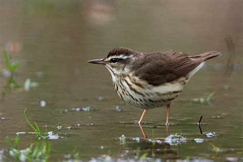 birds of new york louisiana waterthrush