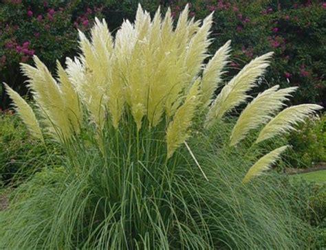 piante strane da giardino piante da giardino il gynerium pollicegreen