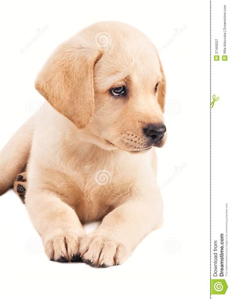 2 month puppy 2 month labrador retriever puppy royalty free stock photography image 27469037