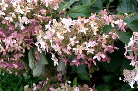hardy flowering shrubs low care garden shrub hydrangea paniculata