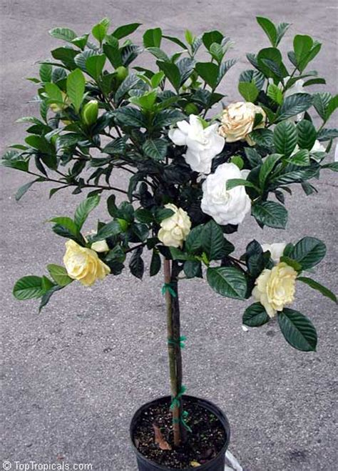 Gardenia House Plant Toptropicals Plants For Home And Garden