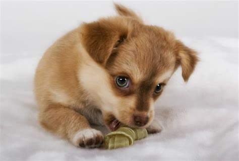 how do puppies chew on things what you should about puppy teething