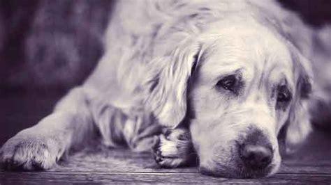 pyometra in dogs how to avoid pyometra in dogs petcarerx