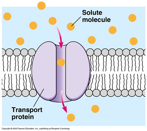 protein transport transport proteins structure images