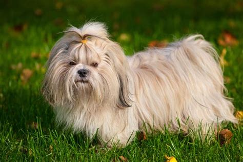 shih tzu breed characteristics shih tzu health history appearance temperament maintenance