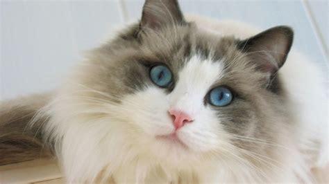 ragdoll 3d blue ragdoll cat hd wallpaper wallpaperfx