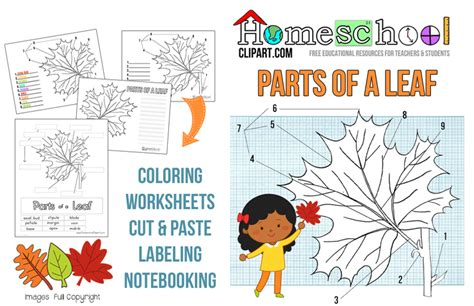 Parts Of A Leaf Worksheet by Parts Of A Leaf Printables