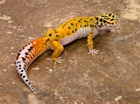 gecko animal wildlife