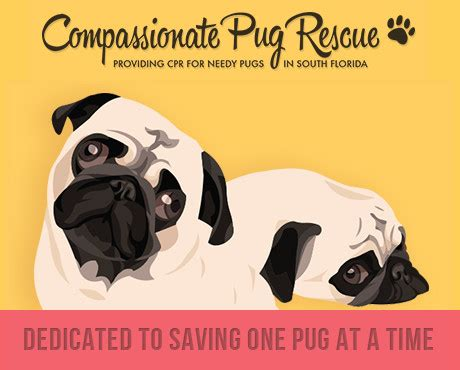 south florida pug rescue pets for adoption at compassionate pug rescue of south florida in miami fl petfinder