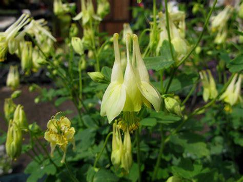 fiori penduli giardini