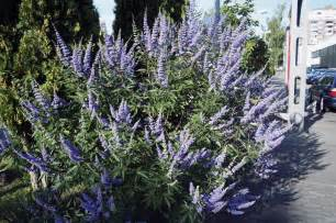 Blue Bush Flowers - m 246 nchspfeffer 174 blue velvet lubera ch