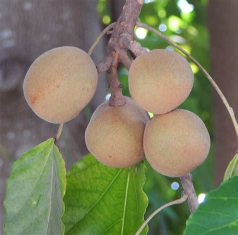 you can tell a tree by the fruit it bears and tropical fruit in south florida the