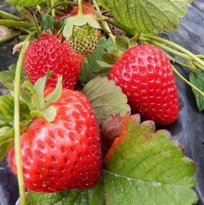 coltivare fragole in casa coltivare le fragole in casa la guida per tutti the