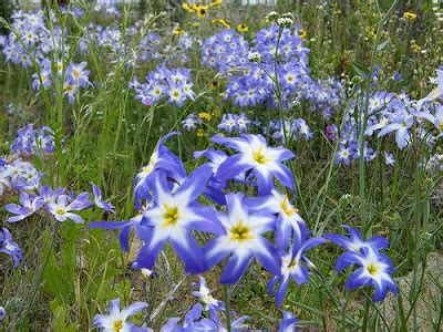 imagenes de flores silvestres chilenas nuestro bello planeta flores silvestres chilenas