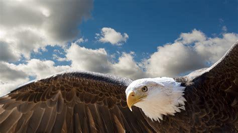 The Bald Eagle American Symbols bald eagle national bird