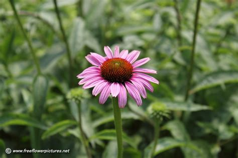 coneflower plant picture flower pictures 1811