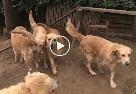 golden retriever puppies rescued from turkey turkey dogs golden retriever rescue from istanbul