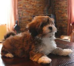 are havanese barkers havahug havanese puppies havahug havanese puppies of michigan