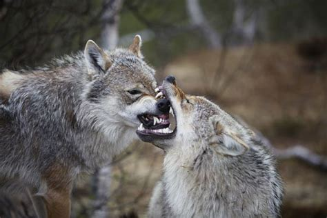 strongest bite the top 20 strongest bites in the animal kingdom 20 photos thechive