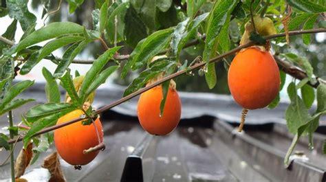 fiore frutto della passione passiflora passiflora caerulea passiflora caerulea