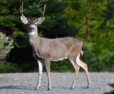 buck you my what a handsome buck you are mendonoma sightings