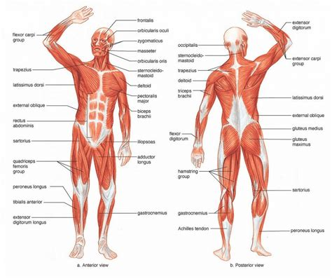 human diagrams to label label human muscles labelled diagram of the muscles in the