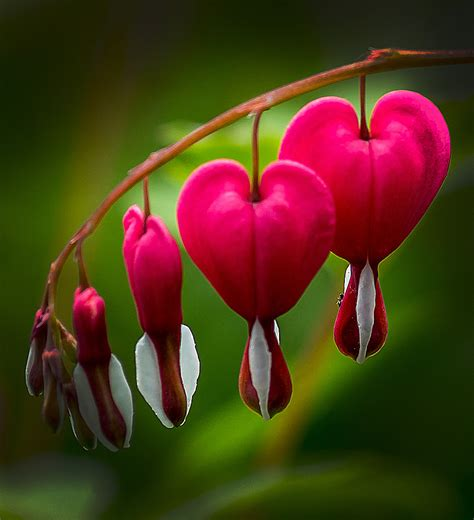 bleeding heart flower part 2 weneedfun