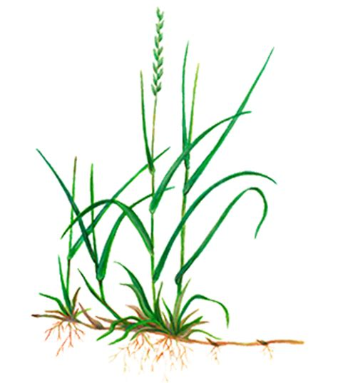 couch grass weed killer search results for flower pictures borders calendar 2015