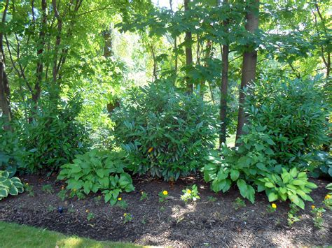 shade tolerant deer resistant plants and shrubs househoneys com