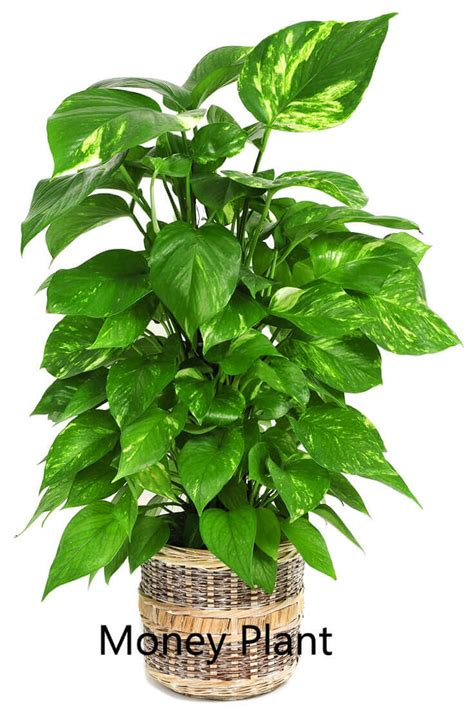 kitchen plants that don t need sunlight 100 plants that don t need sunlight to grow 25