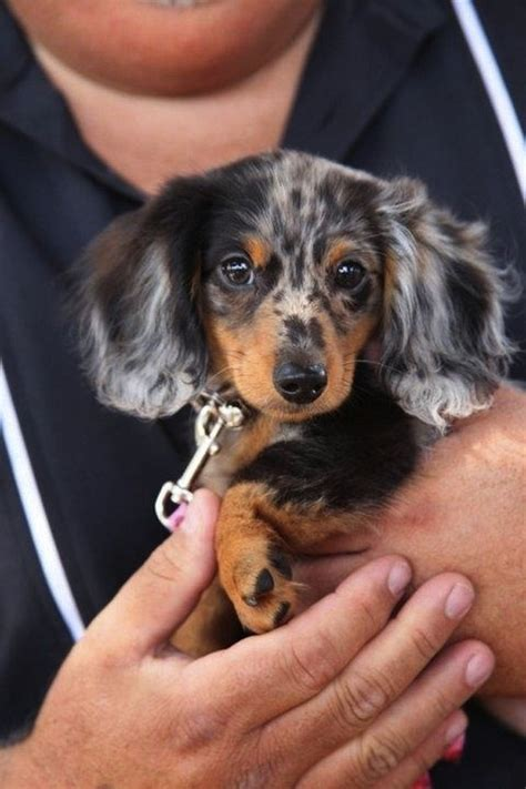 Haired Dachshund Shedding by Haired Dapple Dachshund Puppies Www Imgkid