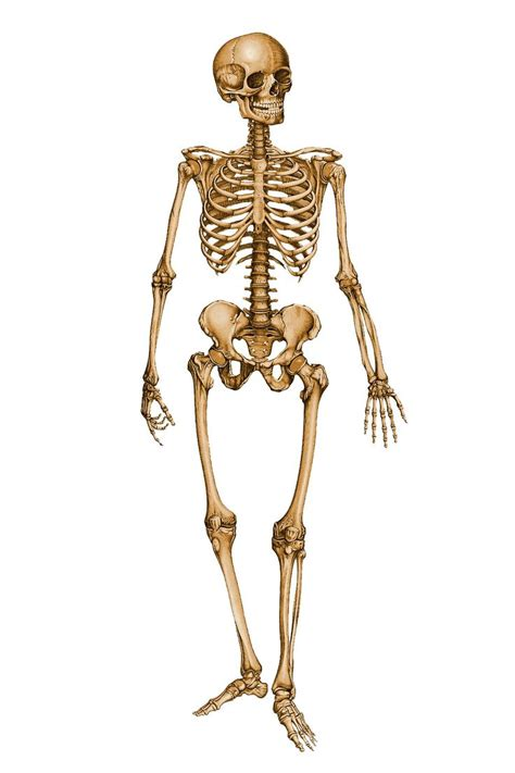 best 25 human skeleton bones ideas only on skeleton anatomy labelled photos skeleton of human human anatomy chart