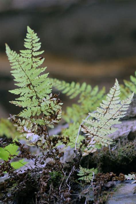 fougere fern nature chittenango falls ferns