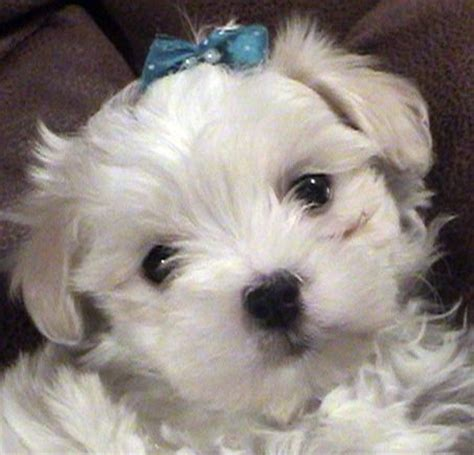 maltipoo puppies for adoption teacup maltipoo puppies for sale adoption from chesapeake