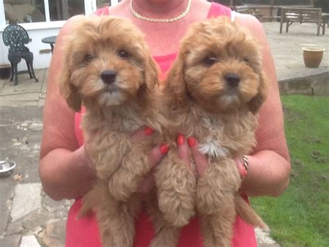 cavapoo puppies for adoption cavapoo puppies for sale ashbourne derbyshire pets4homes
