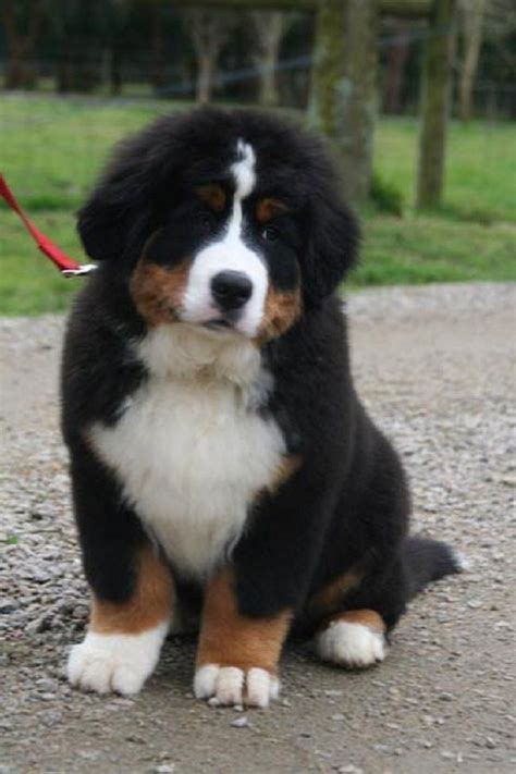 great bernese mountain 17 best ideas about great bernese on great pyrenees puppy bernese