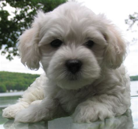 havanese from cuba 112 best images about havanese cuba on dogs abyssinian cat and image