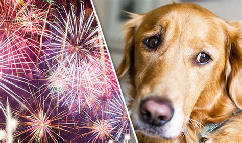 bonfire night playing dogs fireworks sounds helps reduce pet anxiety nature news express